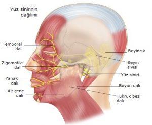 Yüz sinirlerinin dağılımı